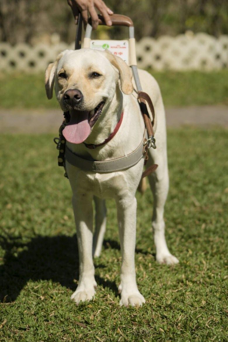 导盲犬品种_萌犬俊介是什么品种_担任导盲犬的品种