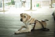 <h5>Google 小檔案</h5><p>品種:拉布拉多  性別:男  出生日期:2010年9月  出生地:台灣  來源:由台灣導盲犬協會送贈  個性:友善、冷靜、沉實  興趣:睡、食、玩、咬骨頭</p>