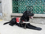 <h5>Whisky 小檔案</h5><p>品種: 拉布拉多 性別: 男 出生日期: 2012年9月 出生地: 日本 來源: 由日本關西盲導犬協會送贈 個性: 聰明、活潑、愛學習 志願 : 成功訓練為導盲犬服務視障人士</p>