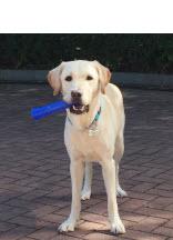 <h5>Yahoo 小檔案</h5><p>品種: 拉布拉多 性別: 男 出生日期: 2013年3月 出生地: 台灣 來源: 由台灣導盲犬協會送贈 個性: 活潑、可愛、溫馴、穩定 志願 : 成功訓練為導盲犬服務視障人士</p>