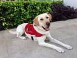 <h5>Range 小檔案</h5><p>品種: 拉布拉多 性別: 男 出生日期: 2011年11月 出生地: 日本 來源: 由名古屋導盲犬協會送贈 個性: 友善、聰明、活潑 志願 : 成功訓練為導盲犬服務視障人士</p>