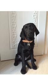 <h5>Delsie 小檔案</h5><p>品種: 拉布拉多 性別: 女 出生日期: 2014年7月 出生地: 英國 來源: 由The Guide Dog For The Blind Association UK 送贈 個性: 活潑、友善、乖巧 志願 : 成為一隻活潑可愛出色的導盲犬</p>
